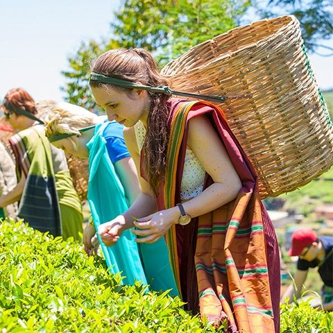 Woman picking tea leaves in tea plantation